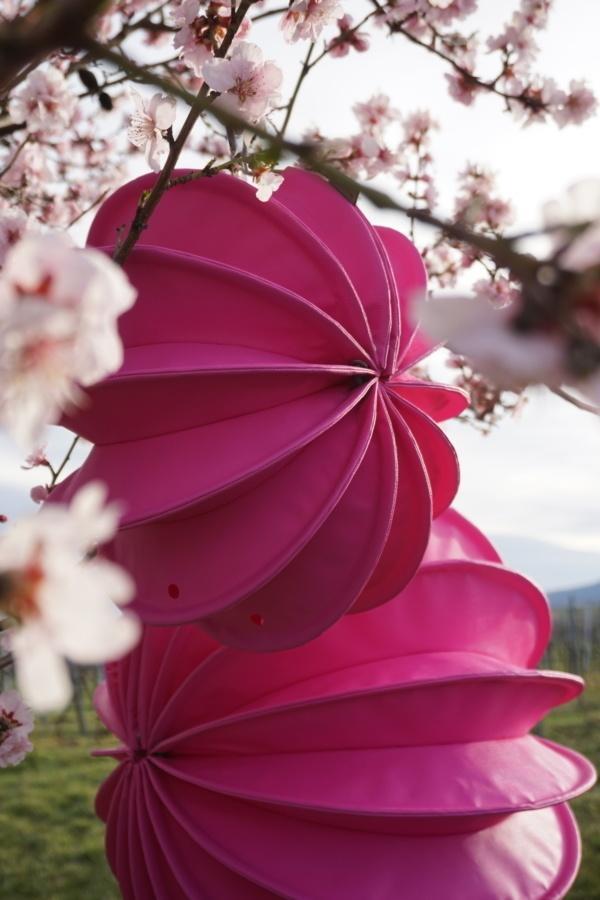 Wetterfester outdoor Lampion Barlooon in pink im blühenden Baum im Frühling.