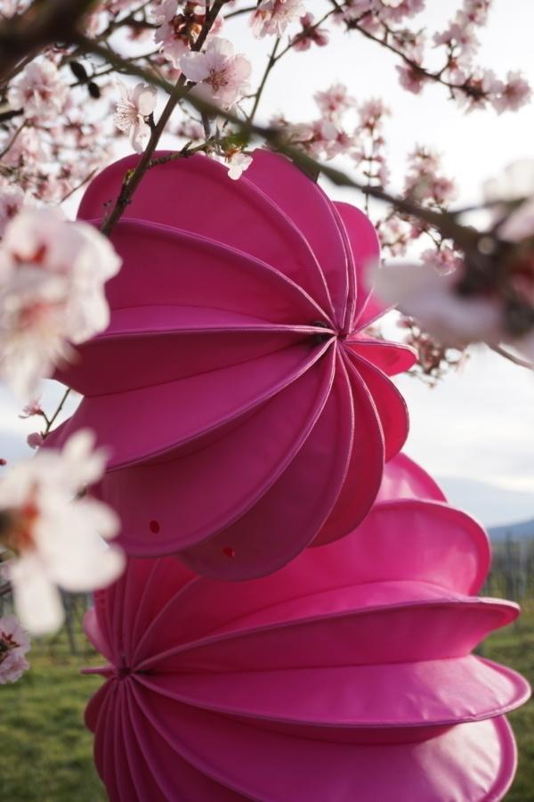 Weatherproof outdoor lampion Barlooon in pink in a flowering tree in spring.